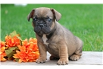 Picture of Spanky - French Bulldog Male