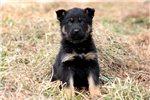 Picture of Hawk - German Shepherd Male