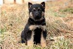 Picture of Harley - German Shepherd Male