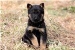 Picture of Hamilton - German Shepherd Male