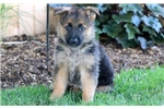 Picture of Bozo - German Shepherd Male