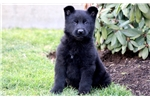 Picture of Pinky - German Shepherd Female