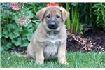 Picture of Precious - German Shepherd Female