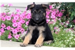 Teddy - German Shepherd Male | Puppy at 8 weeks of age for sale