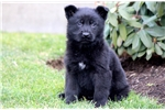 Picture of Pac Man - German Shepherd Male
