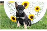 Picture of Stephanie - German Shep/Siberian Husky Mix Female