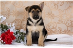 Picture of Hank - German Shepherd Male