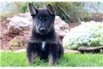Picture of Tucker - German Shepherd Male