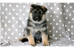 Picture of Lance - German Shepherd Male