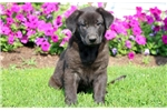 Picture of Boss - German Shepherd Lab Mix Male