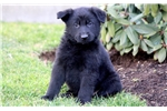 Picture of Pebbles - German Shepherd Female