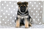 Picture of Leah - German Shepherd Female
