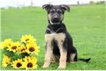 Picture of Buddy - German Shepherd Male