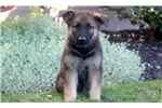 Picture of Honey - German Shepherd Female