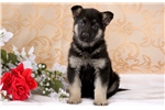 Picture of Hugs - German Shepherd Female