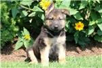 Picture of Rylee - German Shepherd Female