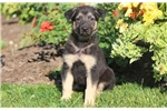 Picture of Nelly - German Shepherd Female