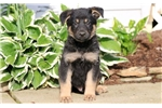 Picture of Tyson - German Shepherd Male
