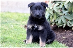 Picture of Priscilla - German Shepherd Female
