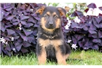 Dallas - German Shepherd Male | Puppy at 8 weeks of age for sale