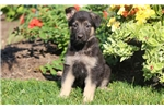 Picture of Natalie - German Shepherd Female