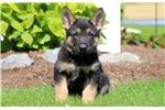 Picture of Devin - German Shepherd Male