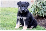 Picture of Patches - German Shepherd Male