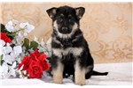 Picture of Hope - German Shepherd Female