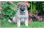 Picture of Penelope - German Shepherd Female