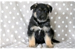 Picture of Leo - German Shepherd Male