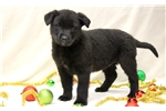 Picture of Hazel - German Shepherd Mix Female