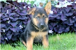 Picture of Dasher - German Shepherd Male
