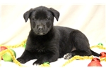 Picture of Heaven - German Shepherd Mix Female
