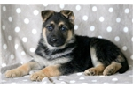 Picture of Love - German Shepherd Female