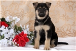 Picture of Huey - German Shepherd Male