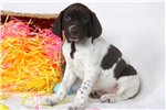 Picture of Hearts - German Shorthaired Pointer Female