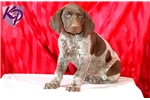 Picture of Curtis - German Shorthaired Pointer Male