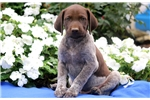 Picture of Pluto - German Shorthaired Pointer Male