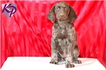Picture of Candy - German Shorthaired Pointer Female