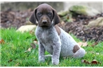 Picture of Magic - German Shorthaired Pointer Male