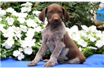 Picture of Petey - German Shorthaired Pointer Male