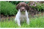 Picture of Bo - German Shorthaired Pointer Male