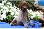 Picture of Pickle - German Shorthaired Pointer Male