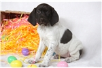 Picture of Heaven - German Shorthaired Pointer Female