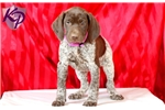 Picture of Cici - German Shorthaired Pointer Female