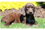 Picture of Bambi - German Shorthaired Pointer Female