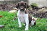 Picture of Misty - German Shorthaired Pointer Female