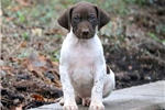 Picture of Mighty - German Shorthaired Pointer Male
