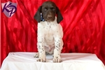Picture of Charles - German Shorthaired Pointer Male