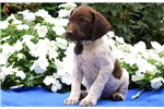 Picture of Parker - German Shorthaired Pointer Male
